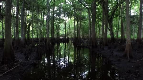 POV shot traveling through a dark cypress swamp. Royalty-free stock video