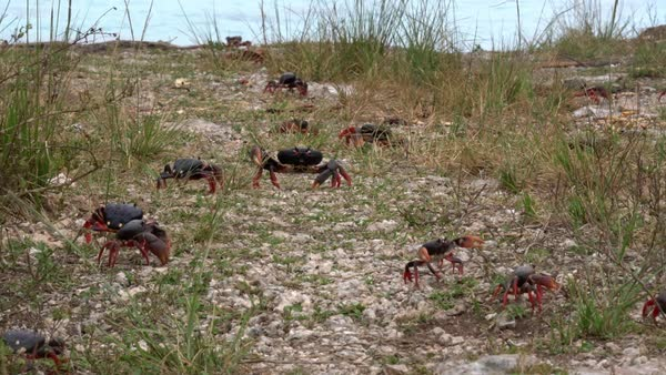 Land crab migration across a grassy area in Cuba. Royalty-free stock video
