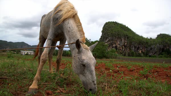 A horse is tied up at a farm in Vinales National park in Cuba. Royalty-free stock video