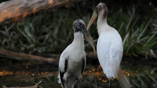 Two wood storks stand in the Florida Everglades. Royalty-free stock video