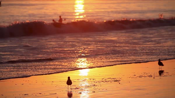 Birds gather on the beach at sunset with swimmers in background. Royalty-free stock video