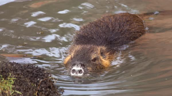 A beaver swims in a river. Royalty-free stock video