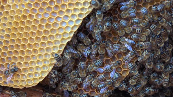 An extreme close up of a bees swarming in a beehive. Royalty-free stock video