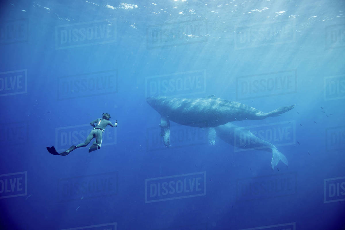 Whales swimming at the bottome of ocean in Hawaii, Maui Royalty-free stock photo