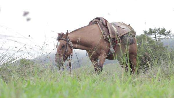 Locked off shot of a harnessed horse feeding on a green pasture Royalty-free stock video