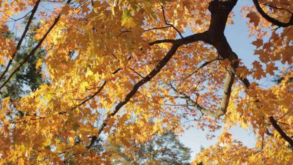Handheld shot of branches with bright yellow leaves against clear sky Royalty-free stock video