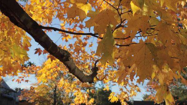 Handheld shot and close up of autumnal leaves Royalty-free stock video