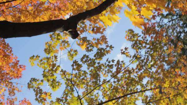 Handheld shot of tree branches with colourful leaves Royalty-free stock video