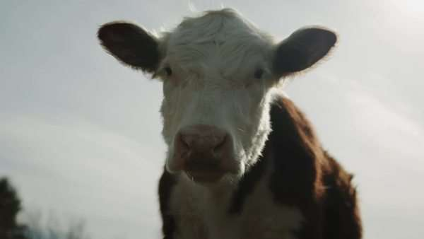 Cow standing majestically in front of sky Royalty-free stock video