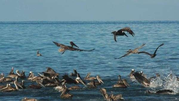 Many pelicans dive for fish Royalty-free stock video