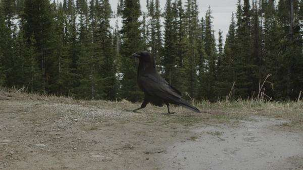 Raven walking in slow motion along ridge Royalty-free stock video