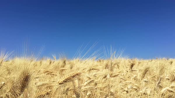 Locked-off shot of a wheat field blowing in wind Royalty-free stock video