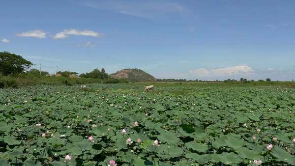 Scenic lotus flower farm in Cambodia with livestock Royalty-free stock video