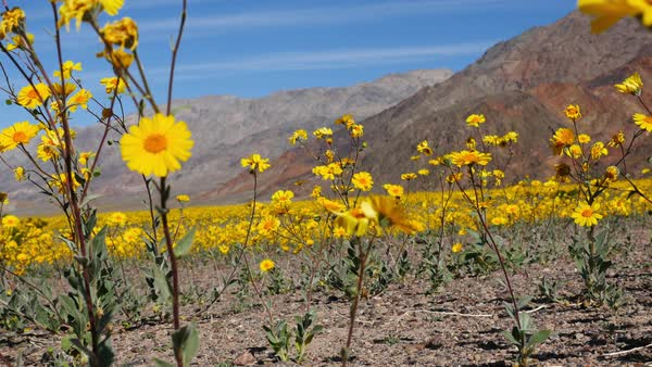 Dolly shot of death valley desert flowers in super bloom spring dolly shot of skull desert flowers in super bloom in death valley royalty free mightylinksfo