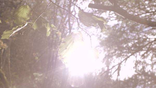 Beautiful close-up of tree branch blowing in wind, backlit lens flare shot Royalty-free stock video