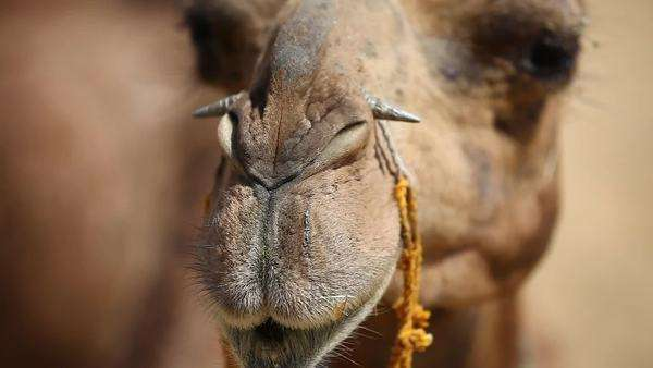 Close up shpt of a camel with nose bar Royalty-free stock video