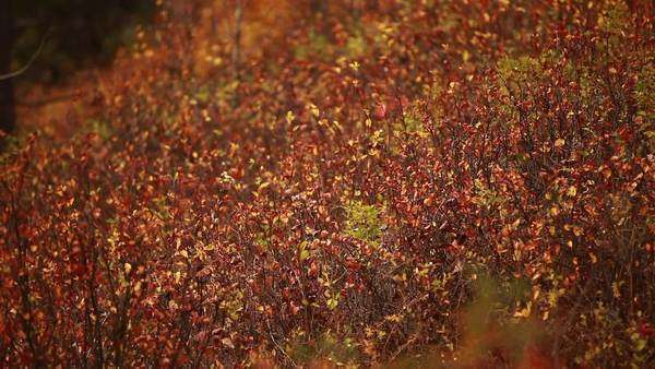 Medium shot of forest vegetation in the fall Royalty-free stock video