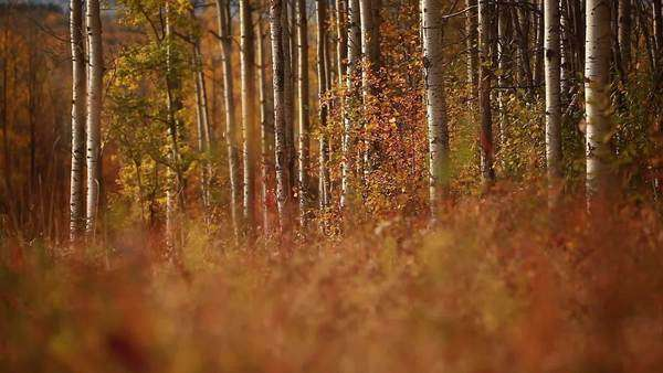 Panning shot of Canadian forest in the fall Royalty-free stock video