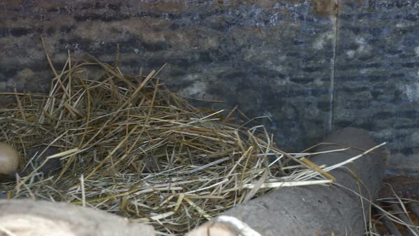 Poultry eggs in a nest on a small village farm. Royalty-free stock video