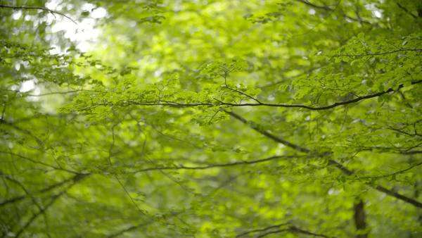 Close-up of tree leaves in the woods in a summer breeze Royalty-free stock video