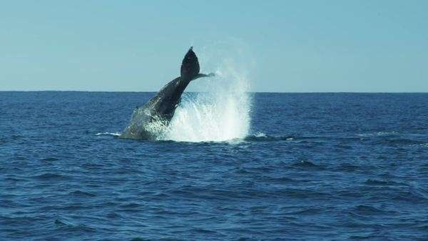 Tail of Humpback Whale fluke Pacific ocean, Monterey, USA Royalty-free stock video