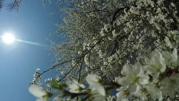 Cherry tree blossom branches at sunrise Royalty-free stock video