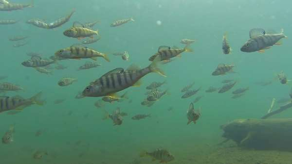 Slow motion shot moving inside a large school of  large perch fish Royalty-free stock video