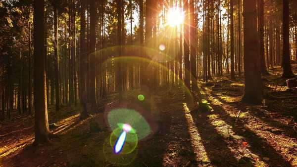 Pan/tilt dolly shot of sunlight punching through the foliage of a fir forest. Royalty-free stock video