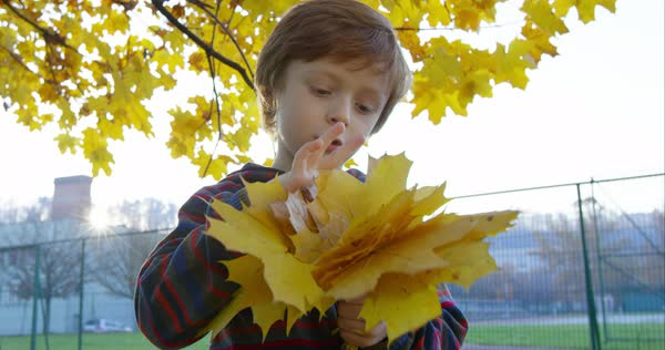 Charming little boy counting yellow autumn leaves in city park  Royalty-free stock video
