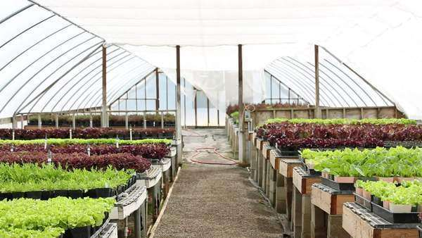 Handheld long shot of potted vegetables in a greenhouse Royalty-free stock video