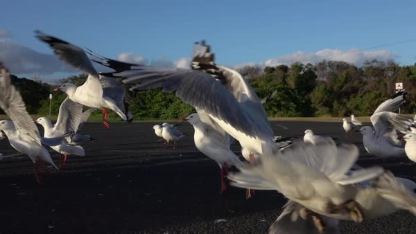 SLOW MOTION CLOSE UP: Approaching a big group of cute, curious seagulls on a local parking lot on beautiful summer day. Scared birds ascending and trying to fly and get away from the danger Royalty-free stock video