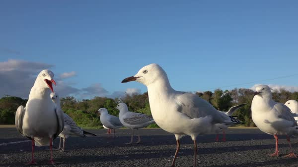 SLOW MOTION CLOSE UP: A small group of cute, curious seagulls standing on empty parking lot, looking around and observing the surroundings. Big birds fighting and waving with their wings Royalty-free stock video