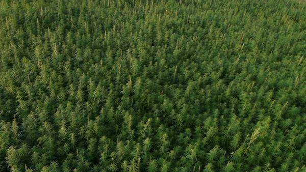 Aerial of Marijuana field Royalty-free stock video