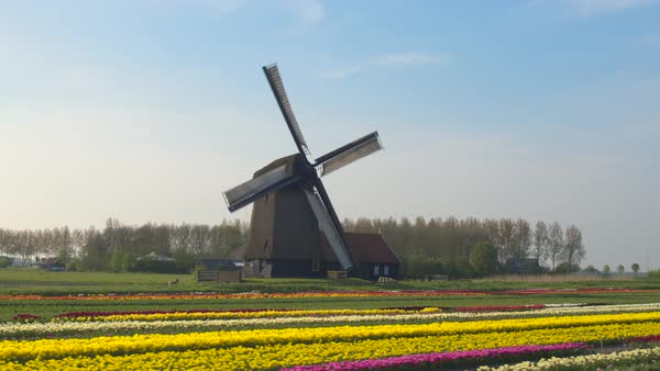 AERIAL, CLOSE UP: Flying next to beautiful traditional wooden windmill on big agricultural farmland with colorful blooming tulips in front. Antique mill at keukenhof gardens, Amsterdam, Netherlands Royalty-free stock video