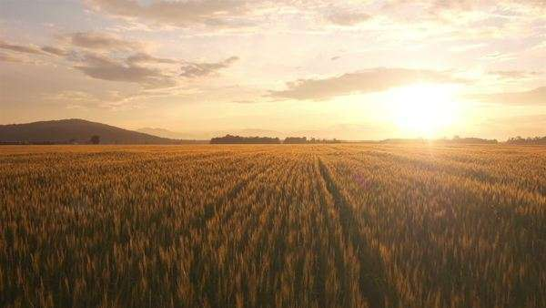 Aerial view of Wheat field at sunset Royalty-free stock video