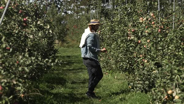 Wide shot of a man collecting apples from orchard Royalty-free stock video