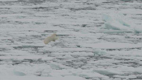 Polar bear moving on ice floes of the polar pack, walking and jumping. Spitzberg. Royalty-free stock video