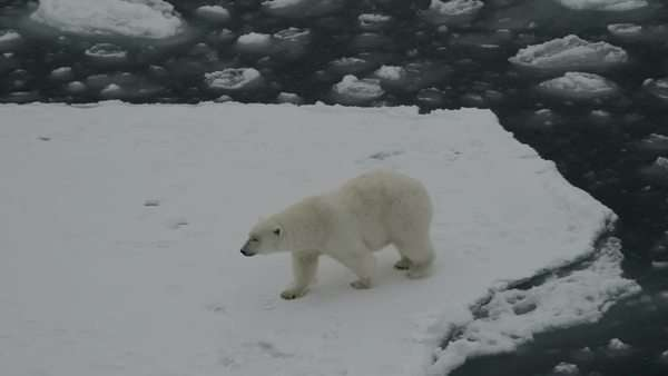Polar bear moving on ice floes of the polar pack, walking an jumping. Spitzberg. Close view. Royalty-free stock video