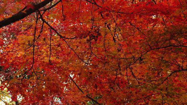 Medium shot tilt-up of Tree in Fall colors, Washington D.C Royalty-free stock video