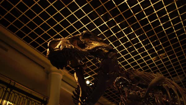 T-rex at museum Rights-managed stock video