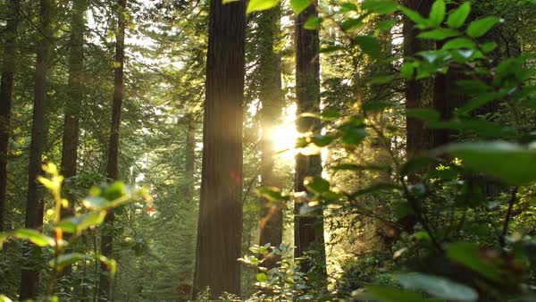 Wide shot of sunbeam in a redwood forest Rights-managed stock video