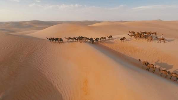 Group of camels being herded over sand dunes in the Arabian desert Royalty-free stock video