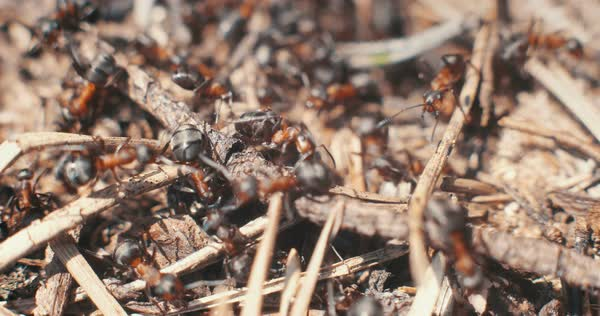 Close-up of ants crawling over sticks in the sunlight Royalty-free stock video