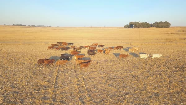 Herd of cows in a dry paddock on an African ranch Royalty-free stock video