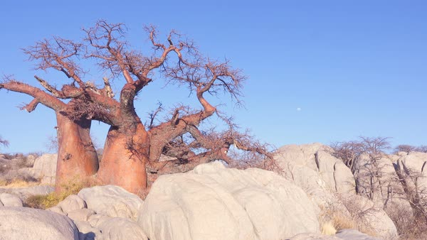 Panning from baobab tree on rocky island to empty salt pan Royalty-free stock video