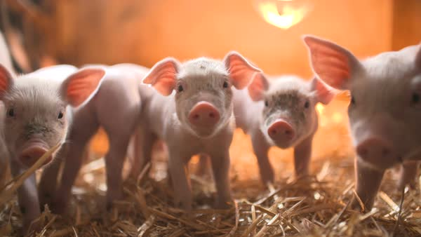 Piglets in barn on livestock farm Royalty-free stock video
