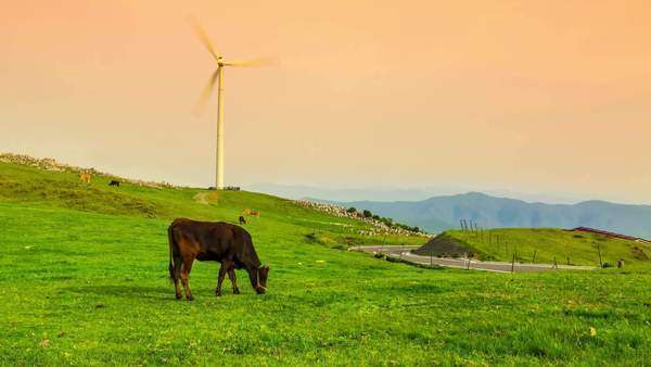 Timelapse of cows grazing while windmills spin Royalty-free stock video