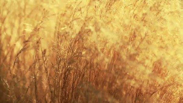 Dry grass in the meadow on an autumn day. Royalty-free stock video