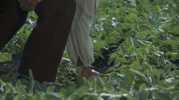 Farmer walking across field and checks out his crop Royalty-free stock video
