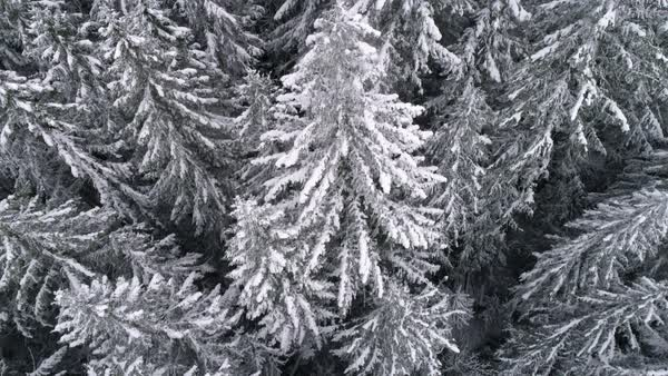 Cold Winter Snow Flakes Falling on Forest Tree Tops in 4K 60P Drone Shot Royalty-free stock video